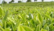 普洱:扩大精品咖啡产量提高咖农收入