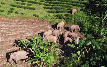 野生亚洲象定居江城七年产五头象宝宝
