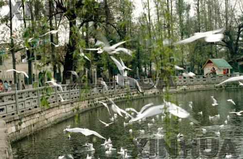 1987年11月9日,翠湖公园。昆明翠湖岸边垂柳拂波,红嘴鸥翻飞于绿叶碧水之间,情趣盎然。新华社记者徐佑珠摄