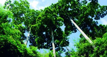 中國古樹——望天樹