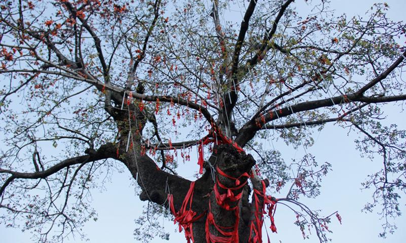 百花岭村的千年木棉树