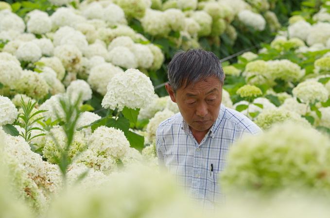 繡球在我國有上千年的栽培歷史,中國是這個屬植物在全世界的分布中心。