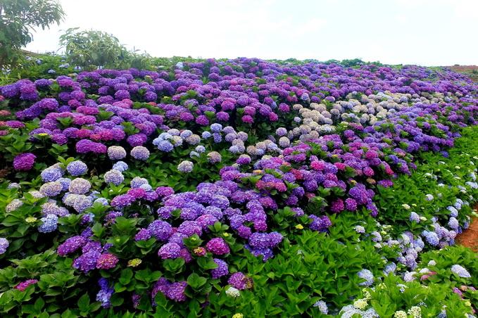 繡球花開放過程中有顏色、層次的變化,幾乎沒有人不喜歡。