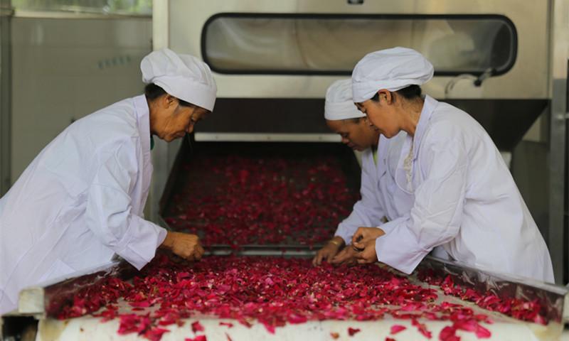 雲南丘北:玫瑰産業促農增收
