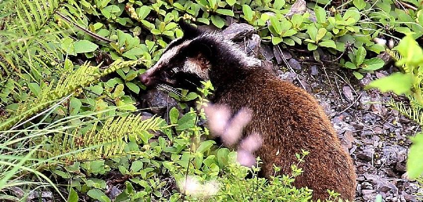 貢山:果子狸被救助後放歸大自然
