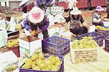 雲南紅河:發展特色水果産業助農增收致富