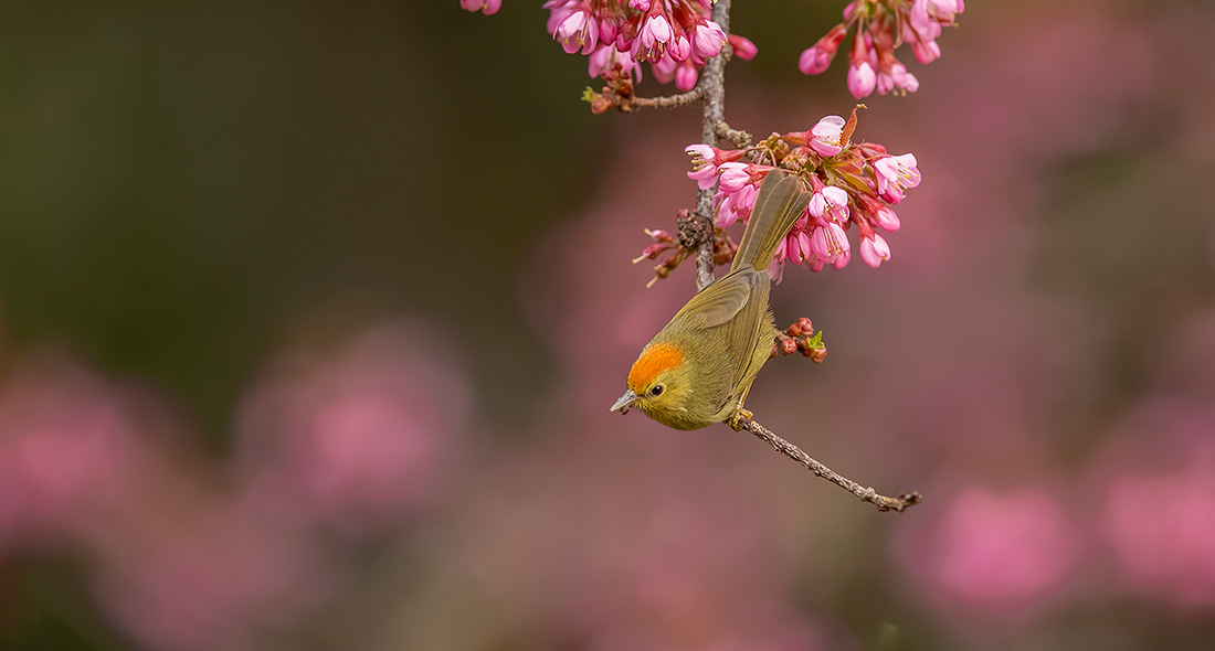 第三屆高黎貢山國際觀鳥節舉行