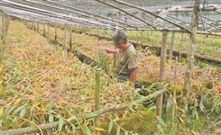 保山市龍陵縣:生態石斛種植助力綠色扶貧