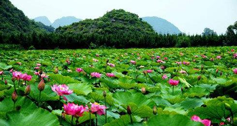 雲南文山:萬畝荷花提前綻放