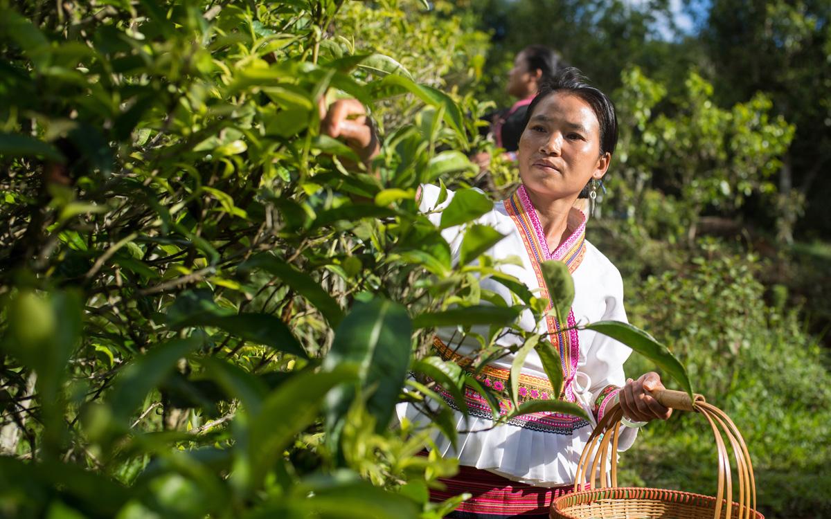 雲南布朗山:茶香不怕林子深