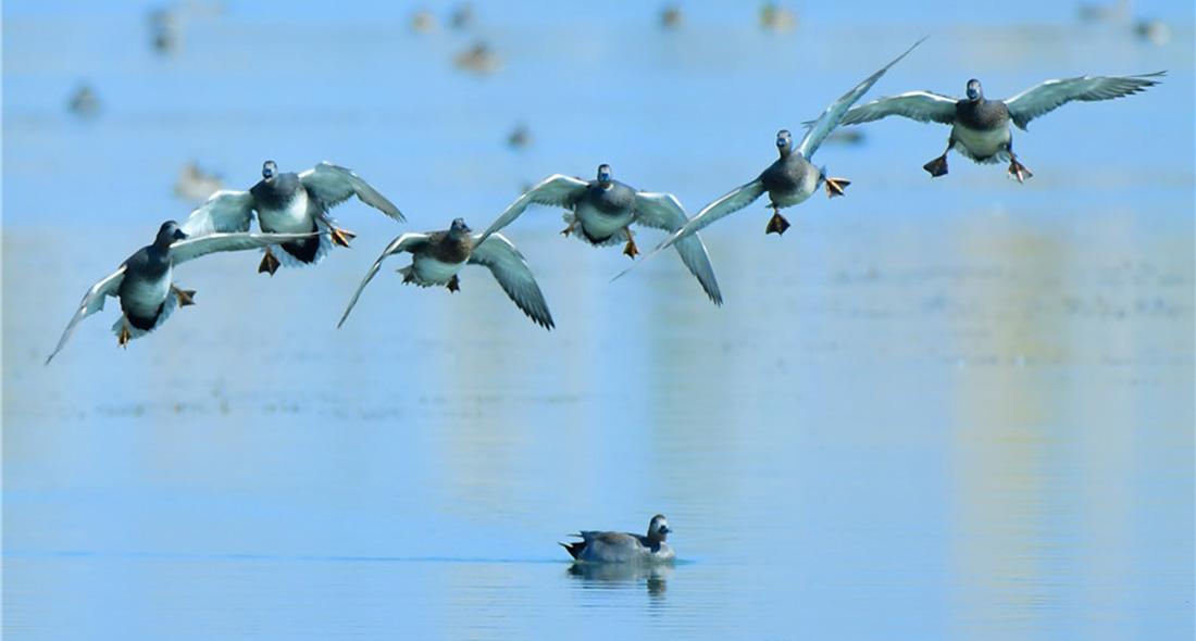 雲南保山青華海國家濕地公園成候鳥越冬樂園