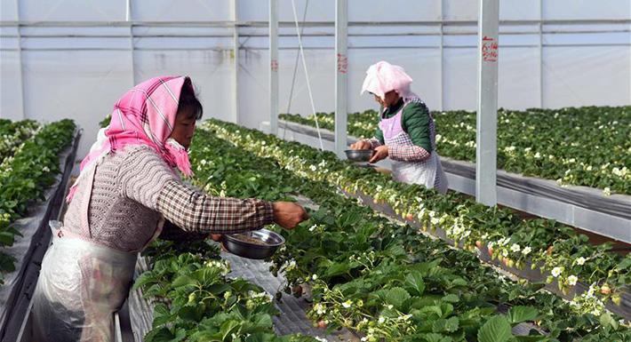 雲南尋甸:草莓育苗基地帶動農民增收