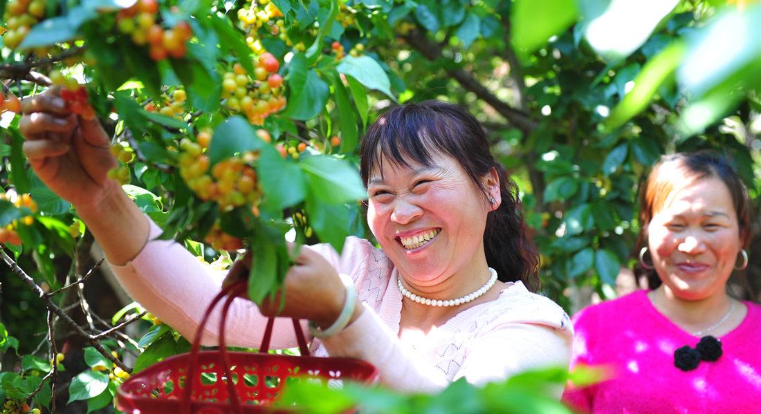 【秋果】馬郎村民採摘櫻桃