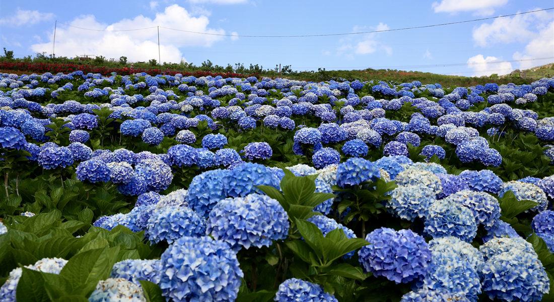 【春花】陽宗海南岸南國山花繡球花海