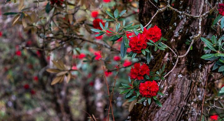 雲南盈江:萬畝杜鵑花盛開