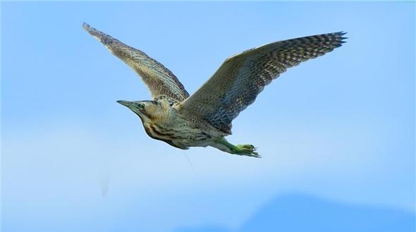 保山青華海國家濕地公園鳥類種類增至215種