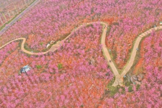 保山東山500畝櫻花綻放