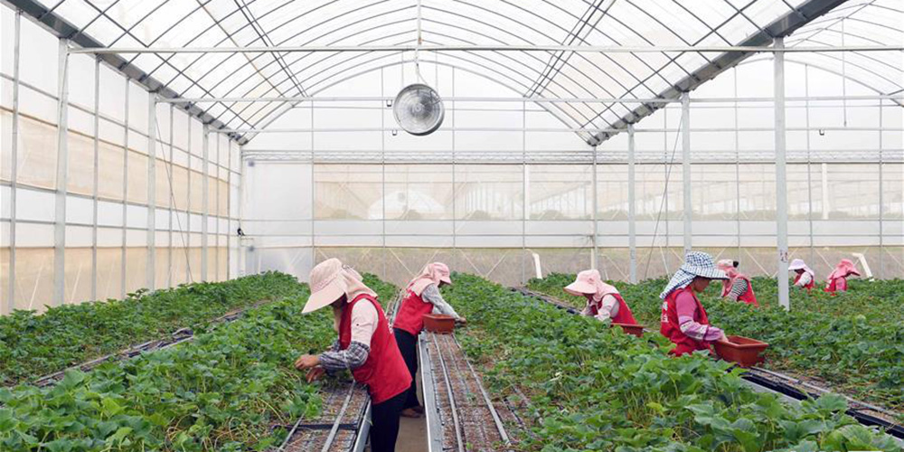 草莓育苗基地帶動農民增收