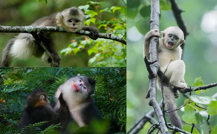 雲南實施6000余畝滇金絲猴棲息地廊道修復造林