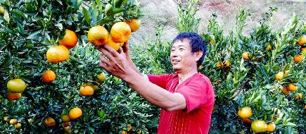 昆明東川:小小黃金橘撐起鄉村致富夢