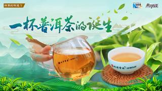 一杯普洱茶的誕生