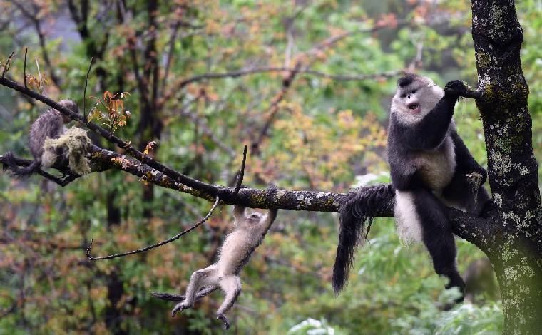 【COP15全球短視頻徵集作品展示】滇金絲猴體操運動會