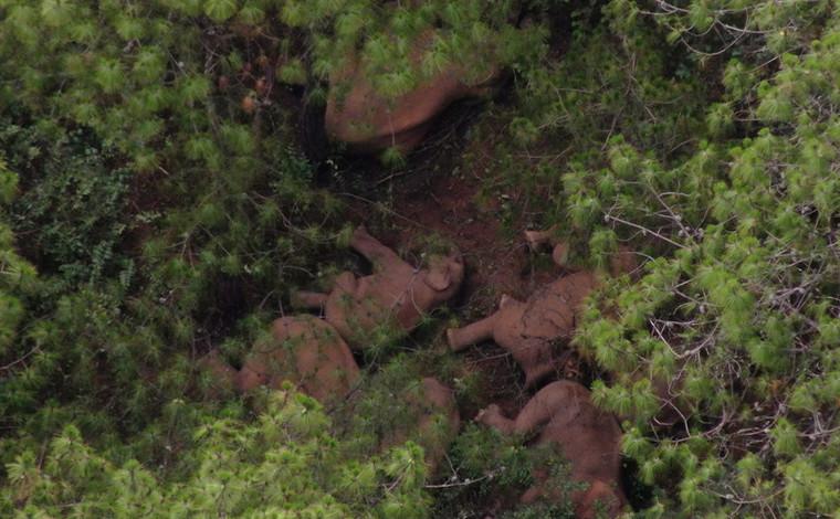 雲南北移亞洲象群持續在易門十街鄉附近迂回活動