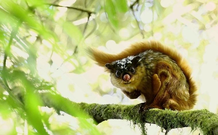 """保山生物多樣性之美:會飛的""""老鼠"""""""