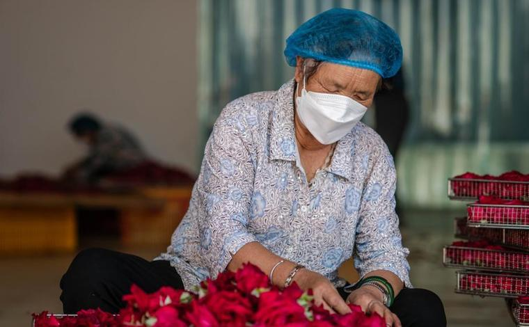 雲南彌勒:鮮花鋪就致富路
