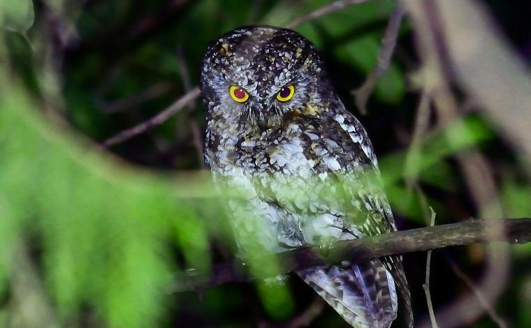 保山生物多樣性之美:貓頭鷹