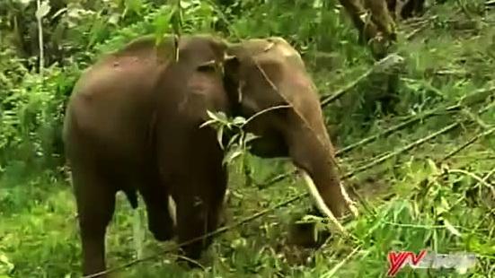 西双版纳:栖息地改造项目还野生动物一个家
