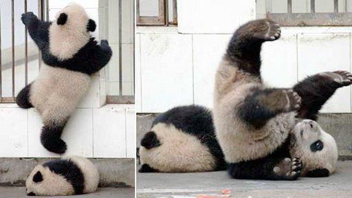"""大熊猫""""越狱"""" 因太胖计划失败"""