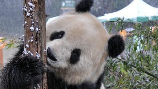 壁纸 大熊猫 动物 512_288