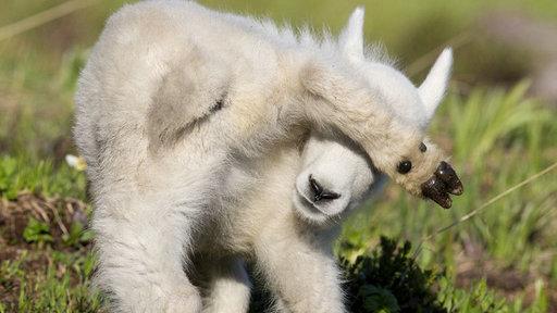 小羊动物躲避敌的图片