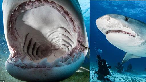 摄影师冒生命危险拍摄鲨鱼嘴中构造
