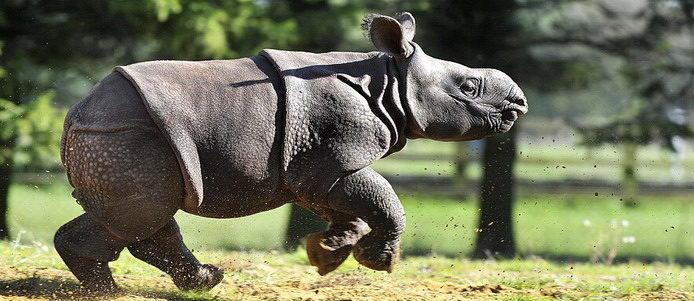 英动物园满月印度犀牛宝宝首亮相