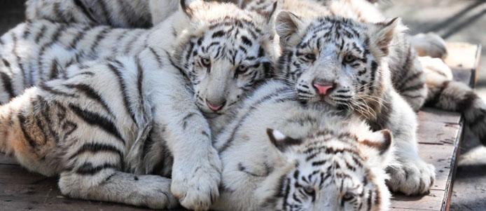 云南野生动物园5只小白虎与游客见面