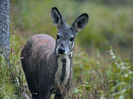 雲南雲龍:一級保護動物林麝再現保護區