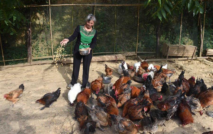 云南寻甸:土鸡养殖助推贫困户增收