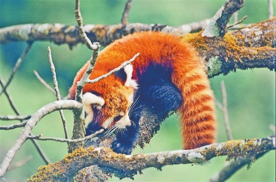 高黎貢山的野生動物生命通道