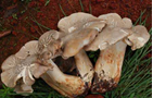 誤食有毒野生菌該怎麼辦?