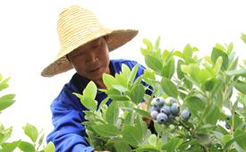 藍莓産業助力脫貧就業