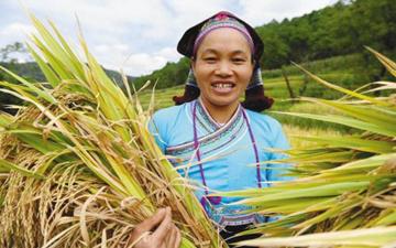 文山秋收稻谷飘香 总产量达6000多万斤