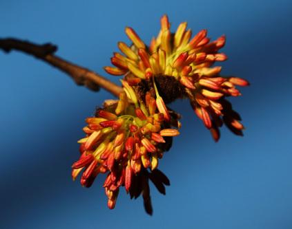贵客来 100株珍稀物种银缕梅落户昆明植物园