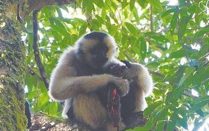 无量山黑冠长臂猿荤素搭配 会吃鼯鼠会吃花