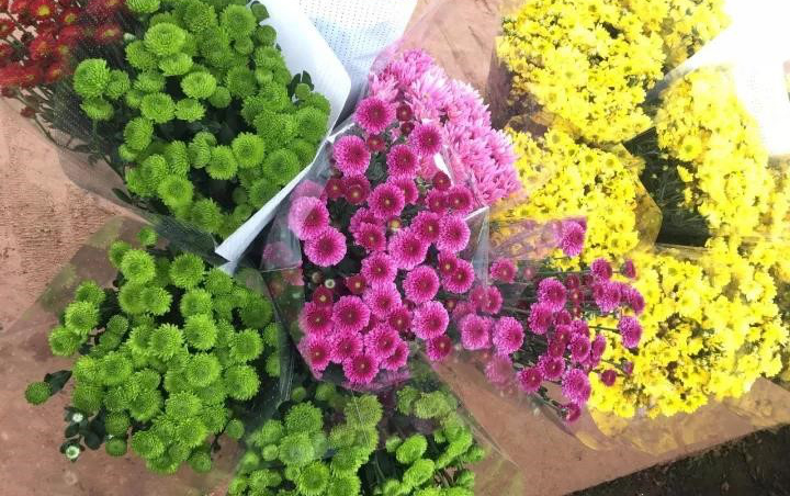 弥勒万亩花卉园首批雏菊采摘上市