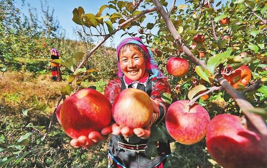 寧蒗:高原蘋果成山村群眾增收果