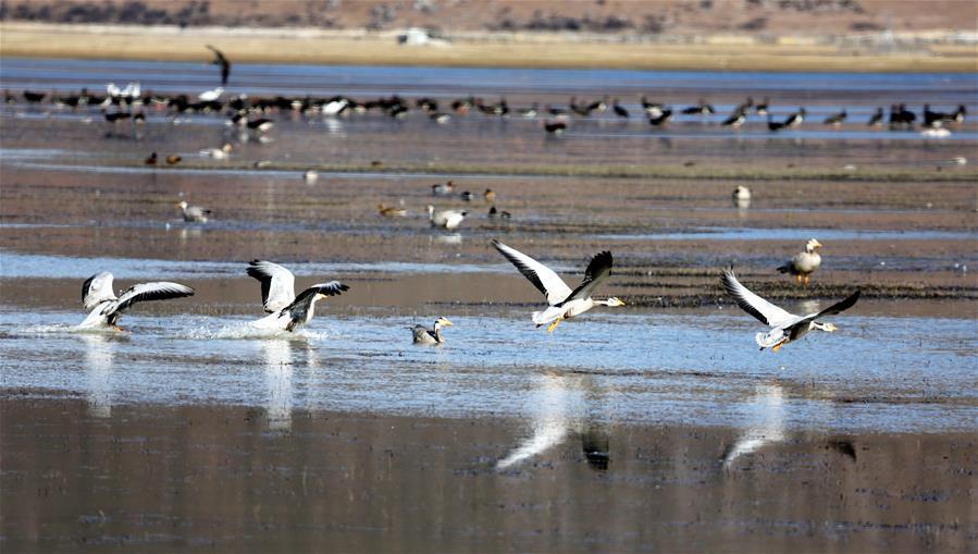 云南迪庆:冬季观鸟引客来