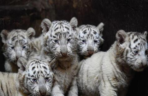 云南:罕见六胞胎小白虎首次与游客见面
