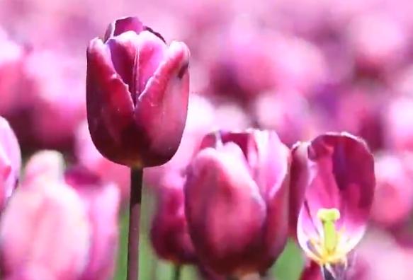 雲南:聽見花開鬧新春